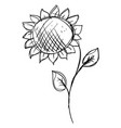 sunflower drawing on white background vector image vector image