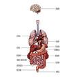 human internal organs system hand drawn vector image
