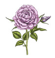 hand drawn violet rose flower isolated on white vector image